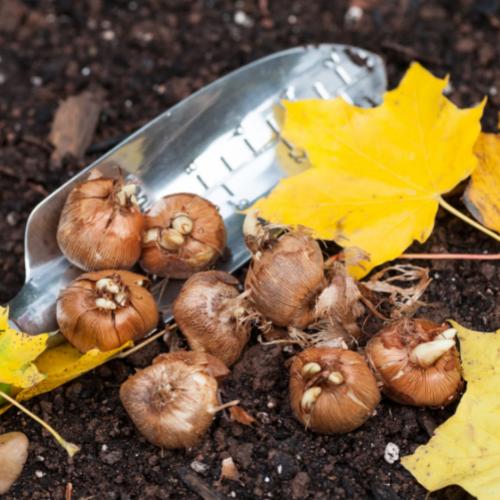 lawn planting garlic